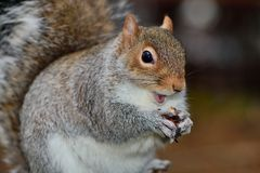 Squirrel eating a nut. Close up portrait of a grey squirrel eating a nut Royalty Free Stock Images