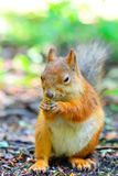Squirrel eating a nut closeup Stock Images