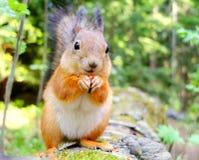 Squirrel eating a nut closeup Royalty Free Stock Photos