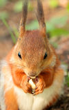 A squirrel eating a nut Royalty Free Stock Images
