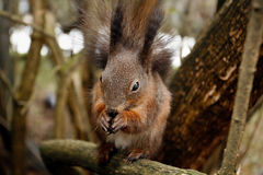 Squirrel eating nut or cone on a tree branch Stock Photography