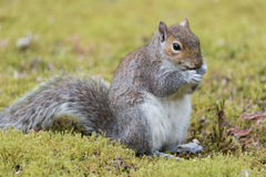 Squirrel eating a nut. Cute squirrel eating a nut Royalty Free Stock Image