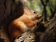 Squirrel eating nut. A cute squirrel eats a nut on a tree stock images