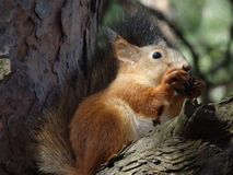 Squirrel eating nut. A cute squirrel eats a nut on a tree royalty free stock photo
