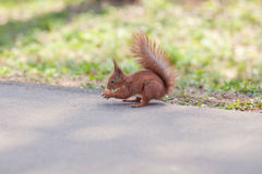 Squirrel eating nut in the forest Stock Photography