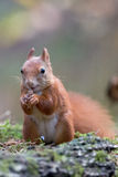Squirrel Royalty Free Stock Images