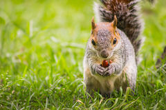 Squirrel eating nut Royalty Free Stock Images