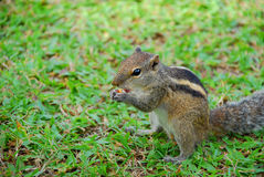 Squirrel eating nut Stock Photos