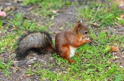Squirrel eating a nut on the grass. Squirrel eating a nut on the green grass Stock Photos