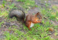 Squirrel eating a nut on the grass. Squirrel eating a nut on the green grass Royalty Free Stock Photography