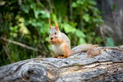 Squirrel eating nut in green forest Stock Photography