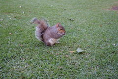Squirrel eating a nut. On a green grass – South Africa Stock Images