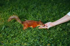 Squirrel eating a nut from a hand Stock Images