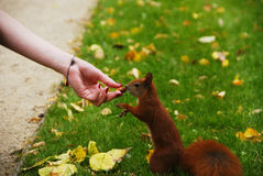 Squirrel eating nut from a hand Stock Images