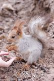 Squirrel eating nut from hand Royalty Free Stock Image