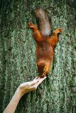 Squirrel eating a nut from a hand on a tree Royalty Free Stock Photo