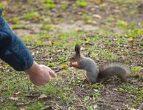 Squirrel eating a nut from the hands of a man sitting on the grass stock photos