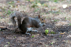 Squirrel eating. A nut in Hyde Park, London Royalty Free Stock Image