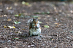 Squirrel eating. A nut in Hyde Park, London Royalty Free Stock Photos