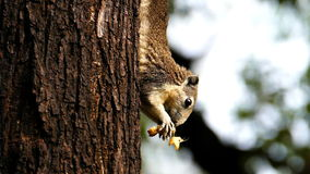Squirrel eating nut in nature, stock video
