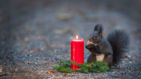 Squirrel is eating a nut near a candle. royalty free stock photos