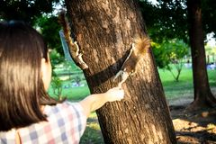 Squirrel eating nut out of little child girl hand,two squirrels hungry on tree trunk in nature,asian girl feeding wild animals in stock photos
