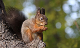 A squirrel eating. Squirrel  eating nut in the park Stock Photography