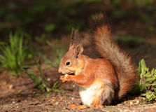 A squirrel eating the nut Royalty Free Stock Photos