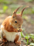 A squirrel eating the nut Stock Images
