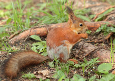 A squirrel eating the nut Stock Image