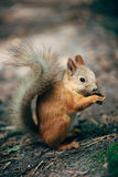 Squirrel eating a nut. In the park Stock Photo