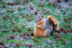 Squirrel Eating Nut. A red squirrel clutches the nut he found among the grass littered with seed pods from nearby trees Stock Image