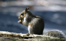 Squirrel eating a nut. Stock Photos