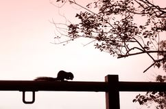 Squirrel eating nut silhouette Royalty Free Stock Photography