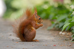 Squirrel eating a Nut Royalty Free Stock Photos