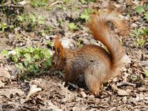 Smal funny squirrel sitting on ground and holding and eating nut. royalty free stock images