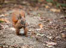 A squirrel eating a nut somewhere in a forest. A squirrel sitting on gray ground and eating a nut somewhere in a forest Royalty Free Stock Photos