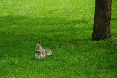Squirrel eating nut. Squirreal eating a nut on the grass in Boston Common Park, with a tree behind Royalty Free Stock Photo