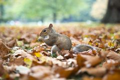 A squirrel eating a nut stock images