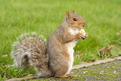 Squirrel eating nut. Standing grass blurred background Stock Images