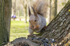 Squirrel eating nut and sunflower seeds on the tree in the summer park Royalty Free Stock Photography