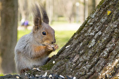 Squirrel eating nut and sunflower seeds on the tree in the summer park Royalty Free Stock Images