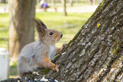 Squirrel eating nut and sunflower seeds on the tree in the summer park Stock Photo