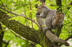 Squirrel eating a nut Royalty Free Stock Photography