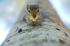 Squirrel eating nut Royalty Free Stock Photos