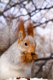 Squirrel eating nut on the tree. Squirrel eating nut on tree Royalty Free Stock Photo