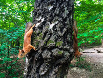 Squirrel. Eating nut on the tree Stock Images