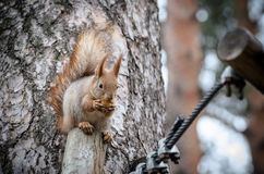 Squirrel eating a nut on the tree. Royalty Free Stock Photo