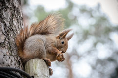 Squirrel eating a nut on the tree Royalty Free Stock Image