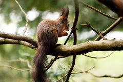 Squirrel eating nut on a tree branch Royalty Free Stock Image